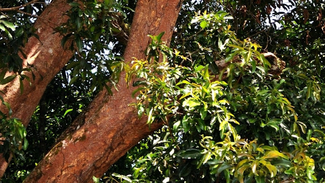 Pohon rengas