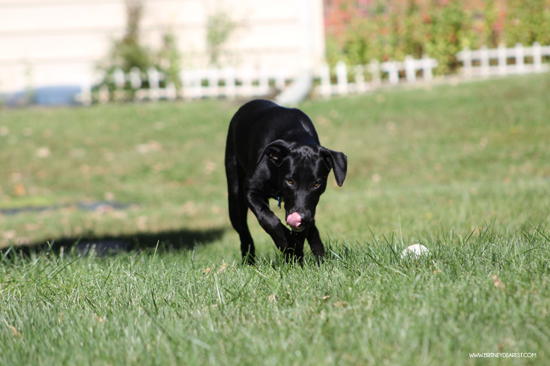 wayside waifs, kansas city, pet owner, pet adoption, what to expect, puppy, dog, pet, animal, black lab