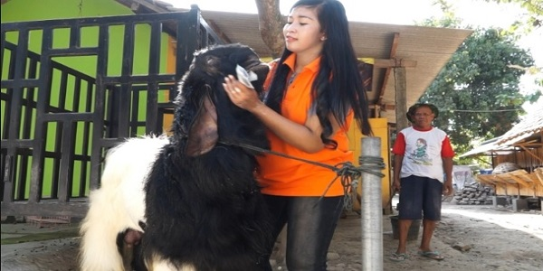 kisah sukses usaha ternak kambing