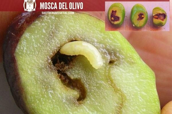 La larva de la mosca del olivo, apenas mide 1mm al nacer, llegando a los 7mm, De color blanco con fuertes mandíbulas