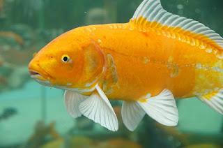Klasifikasi Ikan Mas dan Morfologi Ikan Mas (Cyprinus Carpio)