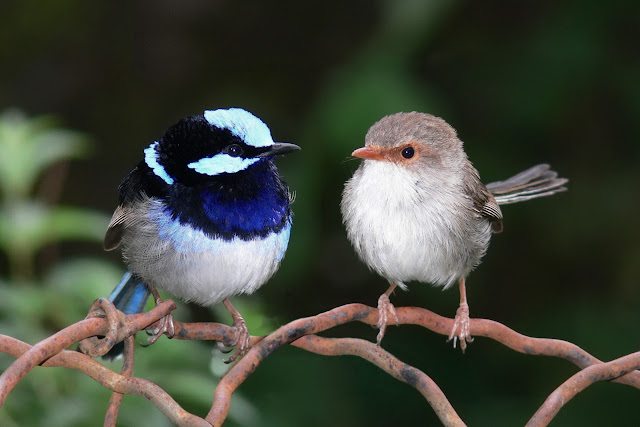 Male_and_female_superb_fairy_wren.jpg