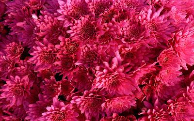 alfombra-de-flores-de-petalos-color-fucsia
