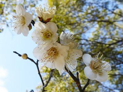 大阪府枚方市・意賀美神社の梅