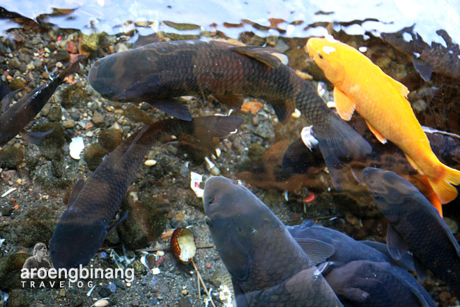 ikan emas pemandian cikoromoy pandeglang banten