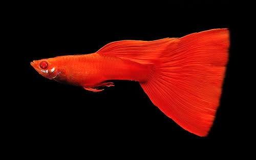 Ikan Guppy Super Red - Cara Budidaya Ikan