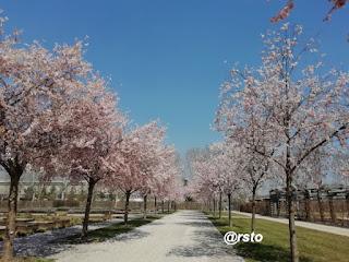 ciliegi in fiore alla Reggia di Venaria Reale