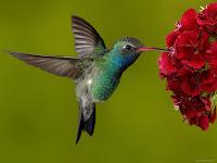 Haz clic aquí para aprender más sobre los colibríes...