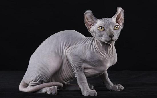 kucing paling aneh