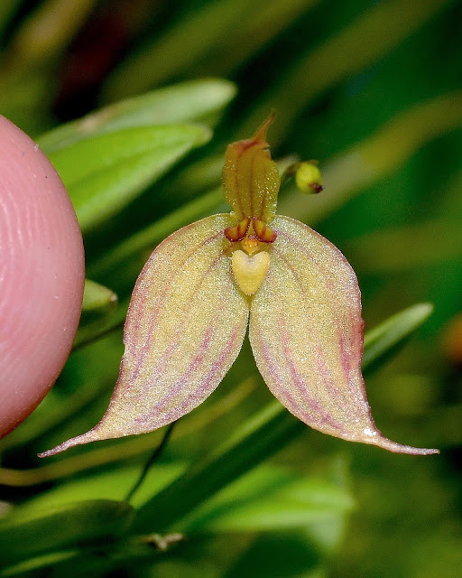 Bulbophyllum discolor