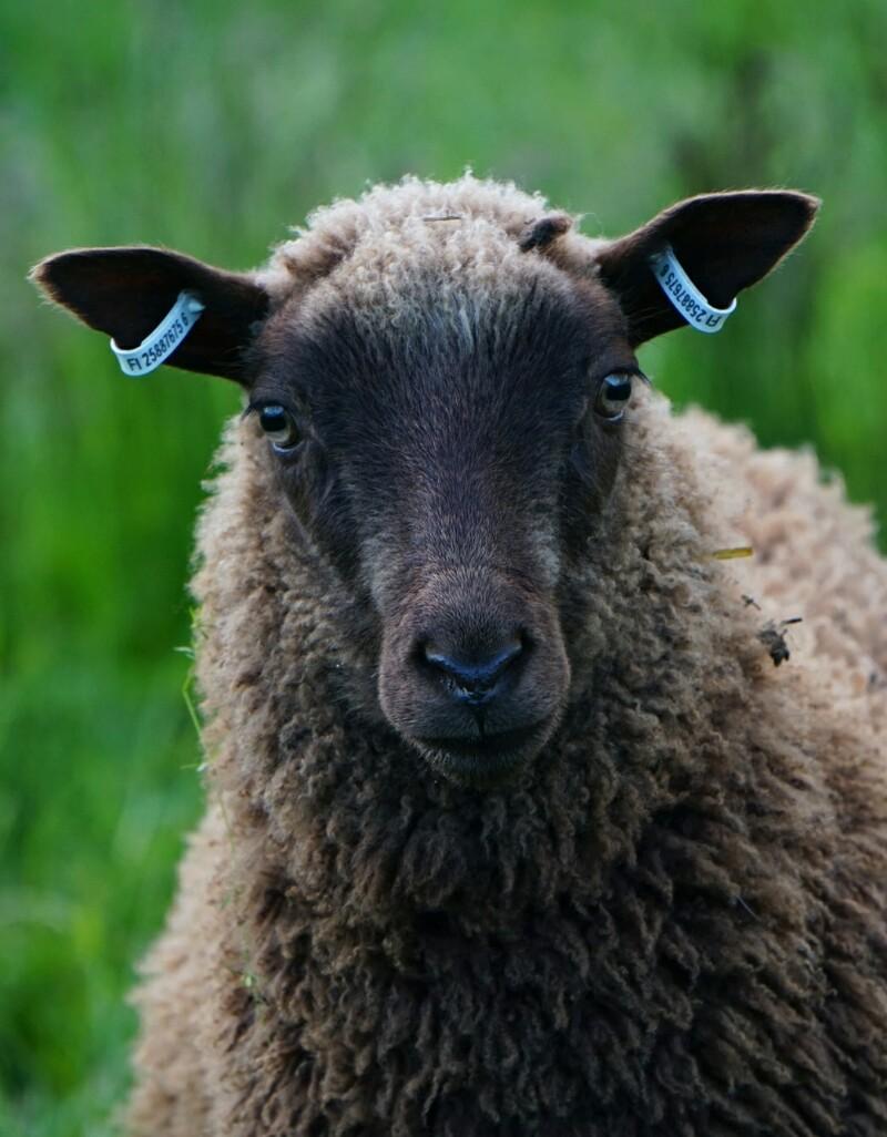 Karitsa, lammas