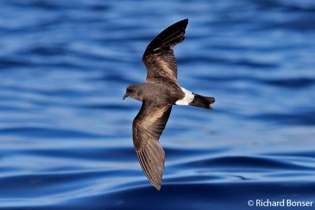 JOIN US ON THE 2018 AZORES BIRDER'S PELAGIC