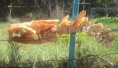 Kerangka hewan misterius di pagar