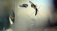 "mosquitos ""radiactivos"""