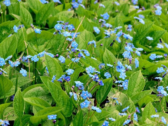 niebieskie kwiaty ułudki wiosennej