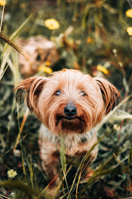 A small brown hairy dog is sitting among some long grass staring straight at the camera