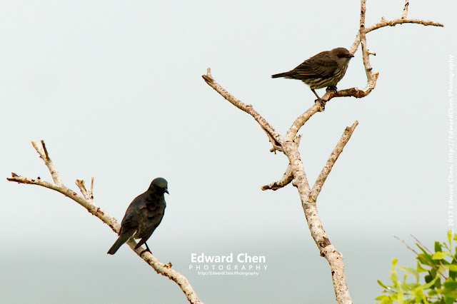 juvenile Asian Glossy Starlings