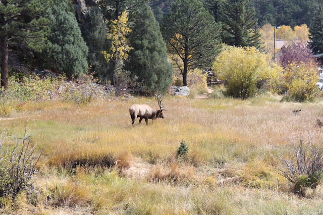 Elk rut season in Estes Park