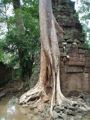 Árvore alta dos Templos de Angkor - Camboja