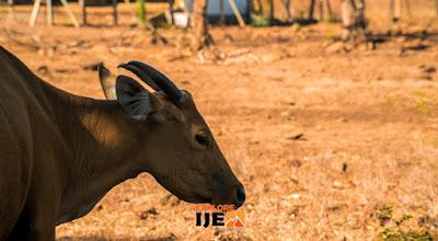 kehidupan satwa liar di taman nasional Baluran