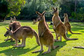 Kangaroos can learn to communicate with humans, researchers say interesting news 