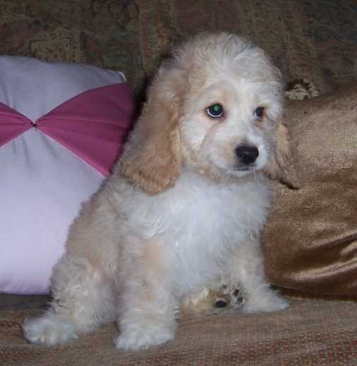 Cockapoo Puppy Pictures | Puppy Pictures and Information