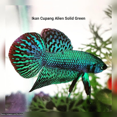 Ikan Cupang Alien Solid Green
