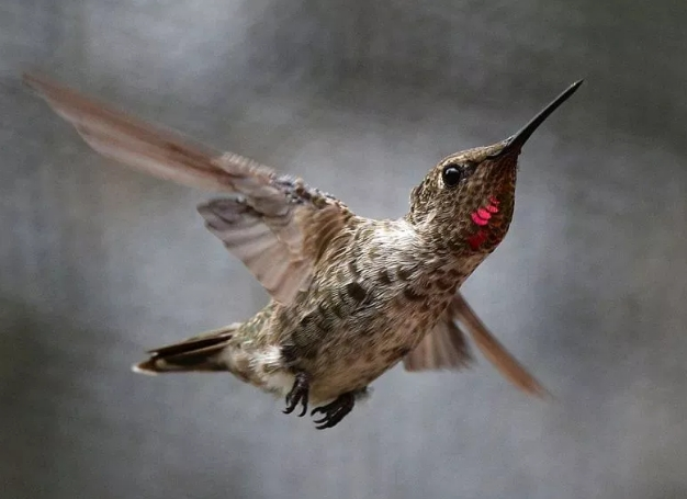 Birds, Hummingbirds,