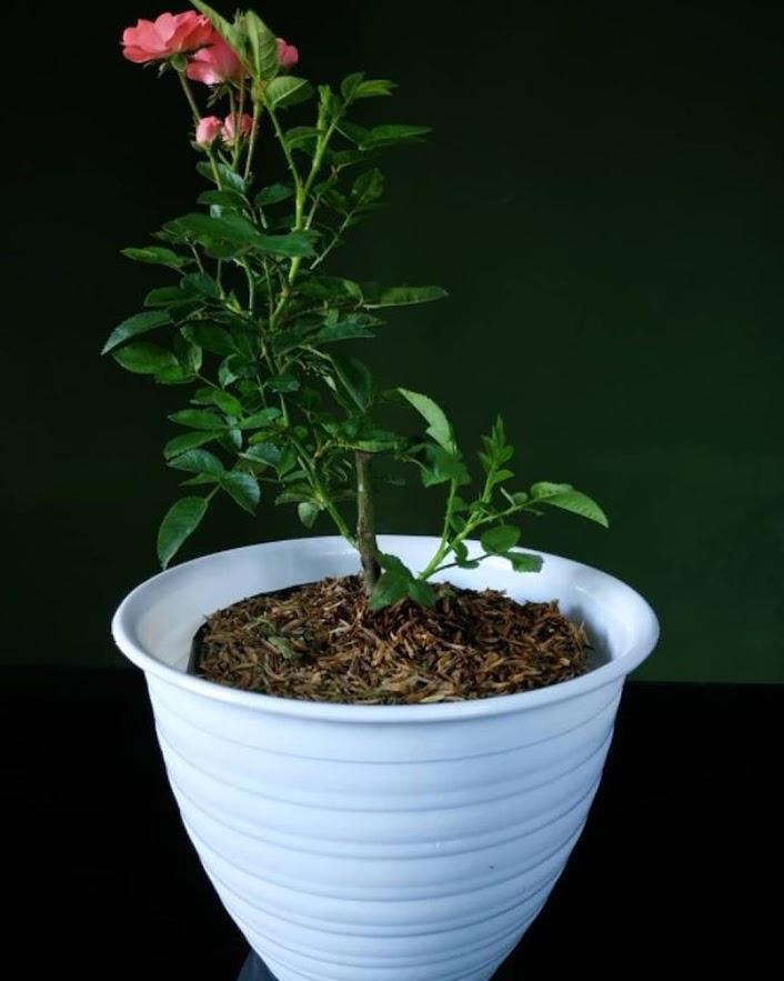 Tanaman Hias Bunga Hidup Mawar Floribunda Berbunga Tegal