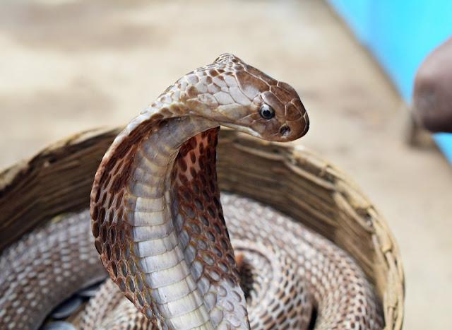 भारतातील सर्वात विषारी साप...! यांच्यामुळं बऱ्याच लोकांचा मृत्यू होतो.