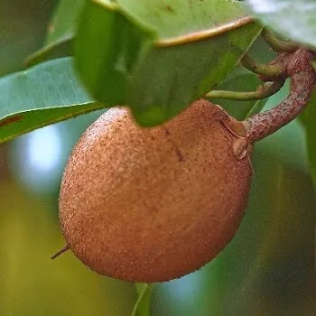 चिक्कू, Sapota fruits name in Marathi