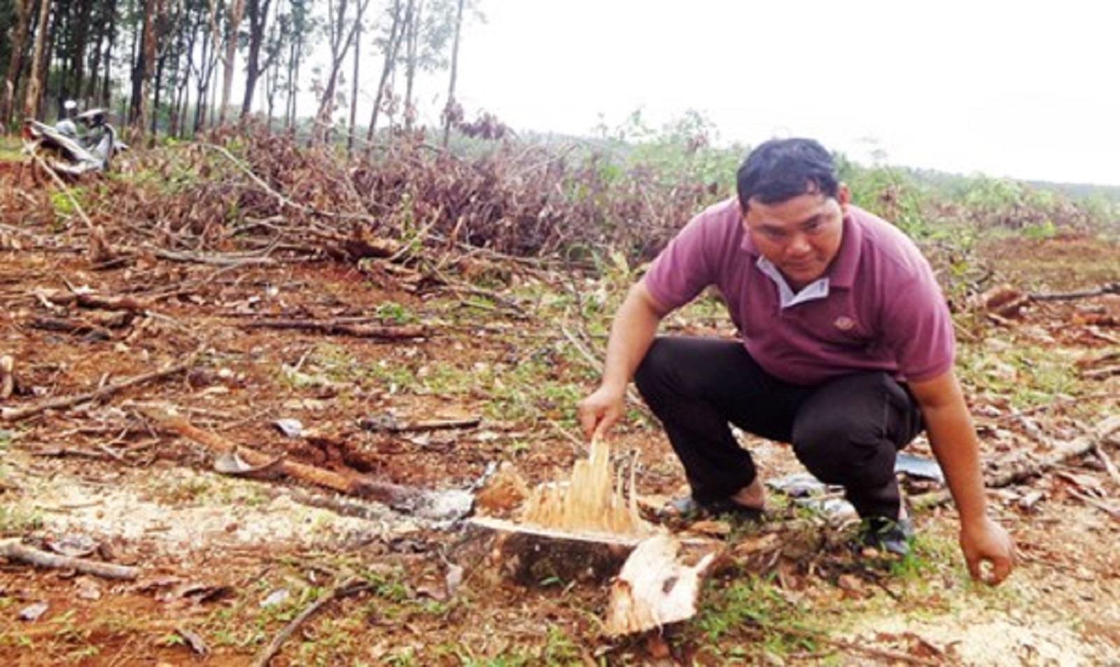 """Gia Lai: Mạo hiểm phá cà phê vì cây """"tin đồn"""""""