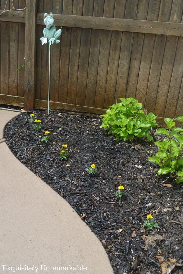 Marigolds planted in a garden bed