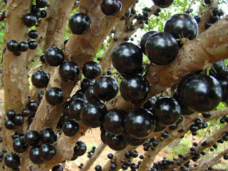 Jaboticaba Fruit Pictures