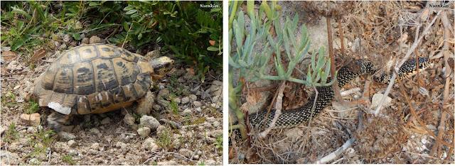 Tortuga mediterrània i serp de la península del Sinis