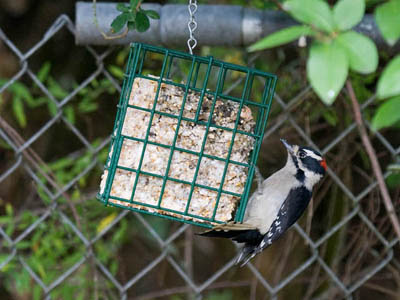 Photo of downy Woodpecker on a suet feeder