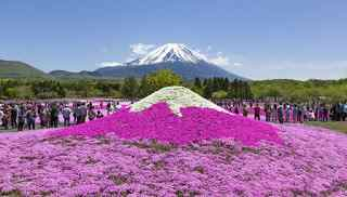 Festival Bunga Fuji Shibazakura di Jepang