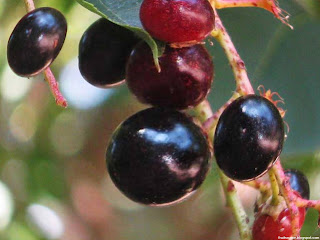 Chokecherry fruit images wallpaper