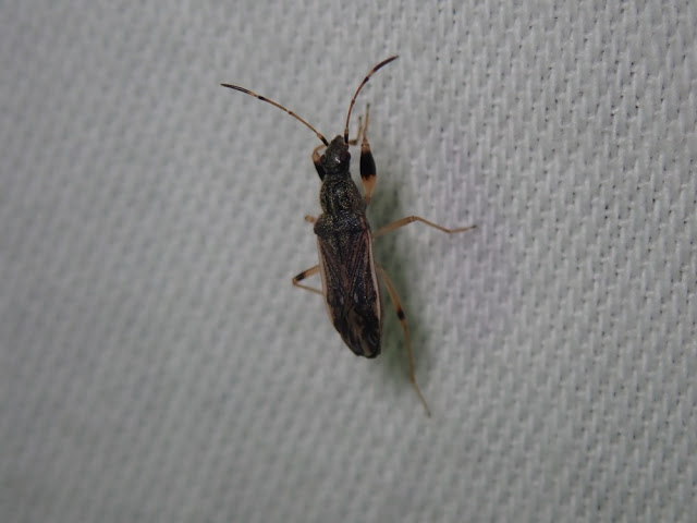Paraparomius leptopoides