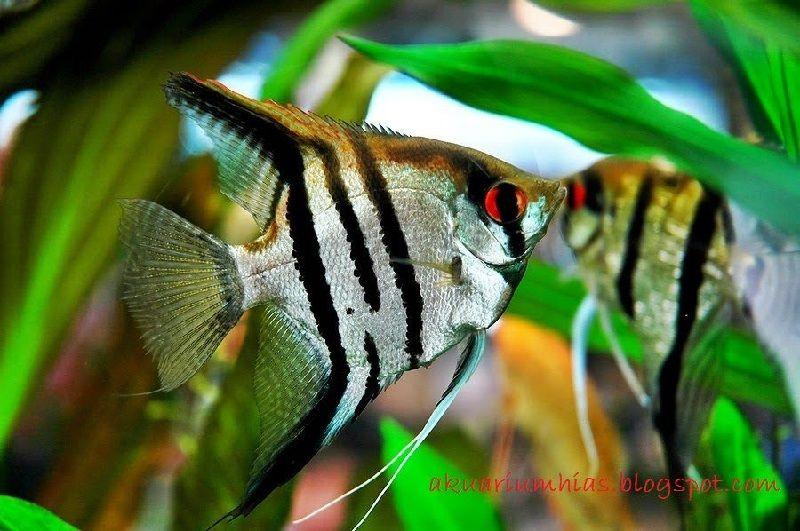 Ikan Aquascape yang Kuat Manfish