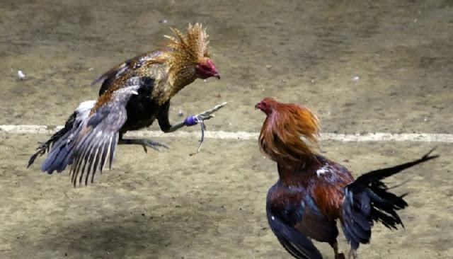 Đá gà Philippin