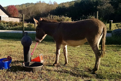 miniature donkey playing with toys in paddock