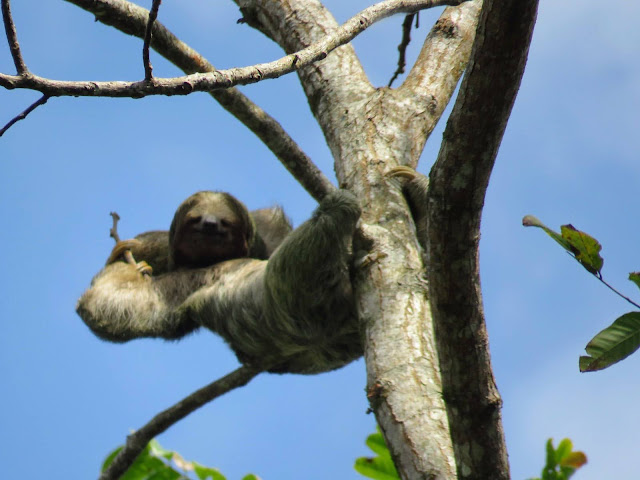 Costa Rica Itinerary: Sloth in a tree