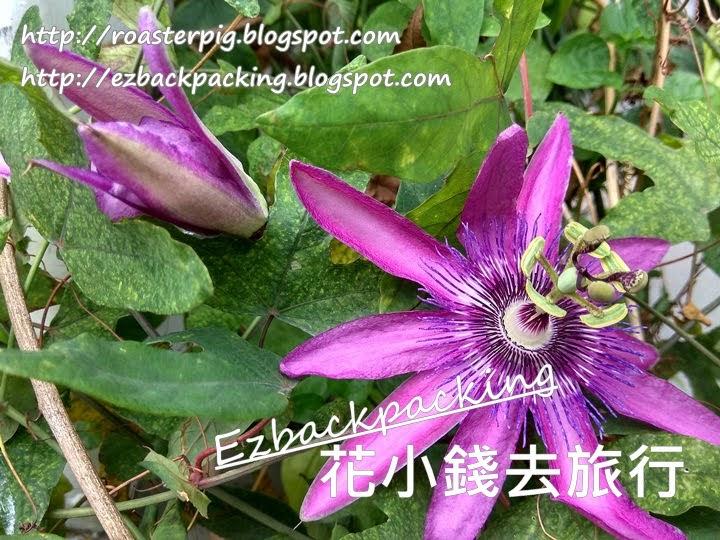 香港紫花西番蓮