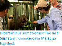 https://sciencythoughts.blogspot.com/2019/11/dicerorhinus-sumatrensis-last-sumatran.html