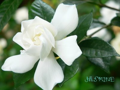 larvicidal effect of sampaguita jasminum sambac A bst r a c t ± the occurrence of pigmented flowers and variation in other morphological traits including the survival of cuttings were investigated in unirradiated and irradiated sampaguita.