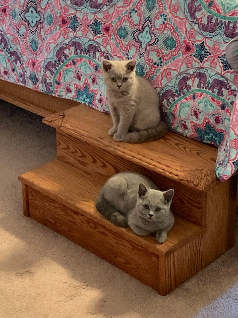 Jujube and Gumdrop - British Shorthair kittens