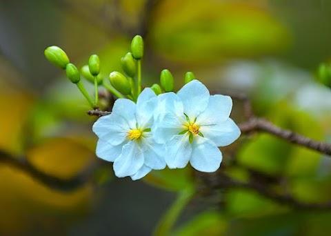 Hoa Mai Trắng Ngày Xuân