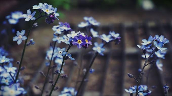 Papel De Parede Flor Myosotis