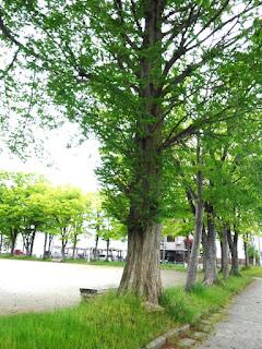 メタセコイアの公園樹